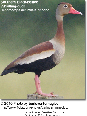 Southern Black-bellied Whistling-duck, Dendrocygna autumnalis discolor