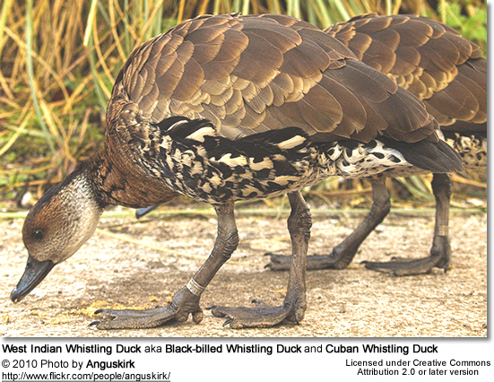 West Indian Whistling Duck aka Black-billed Whistling Duck and Cuban Whistling Duck