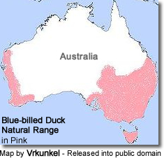 Blue-billed Duck (Oxyura australis)