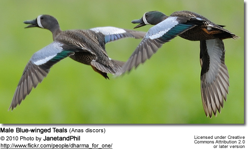 Male Blue-winged Teals (Anas discors)