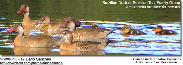 Brazilian Duck or Brazilian Teal Family Group