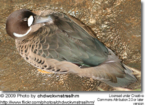 Bronze-winged or Spectacled Duck