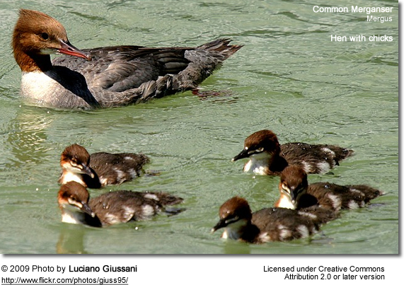 Common Merganser hen with chicks