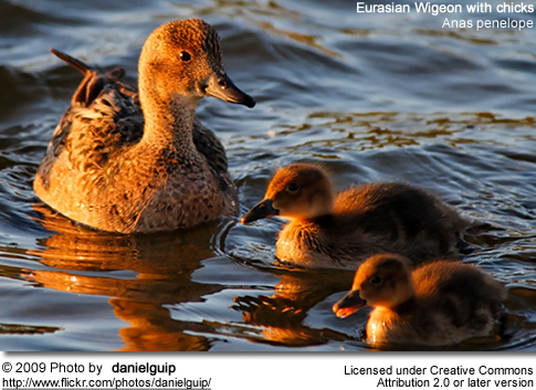Eurasian Wigeon Female with chicks