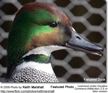 Falcated Duck Portrait