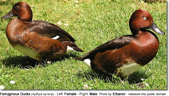 Ferruginous Ducks (Aythya nyroca) - Left: Female - Right: Male