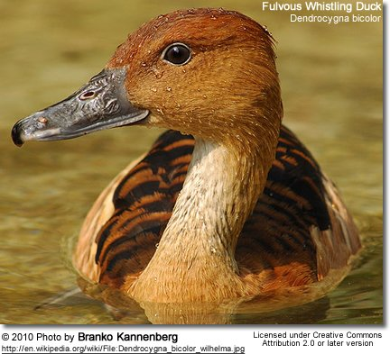 Fulvous Whistling Duck, Dendrocygna bicolor