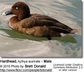 Hardhead Duck Male