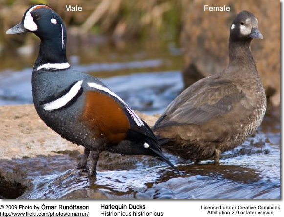 Harlequin Duck - Pair