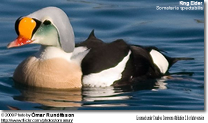 Male and Female King Eider