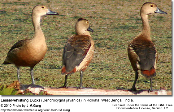 Lesser-whistling Duck (Dendrocygna javanica) in Kolkata, West Bengal, India.