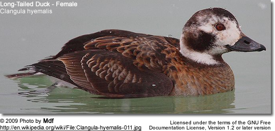Long-Tailed Duck - Female