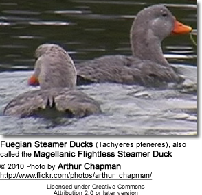 Fuegian Steamer Duck (Tachyeres pteneres), also called the Magellanic Flightless Steamer Duck