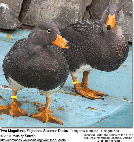 Two Magellanic Flightless Steamer Ducks Tachyeres pteneres in Cologne Zoo.