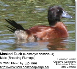 Male Masked Duck