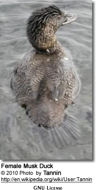Female Musk Duck