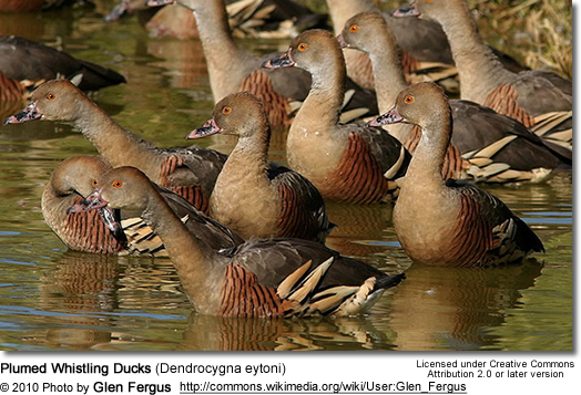 Plumed Whistling-Ducks (Dendrocygna eytoni)