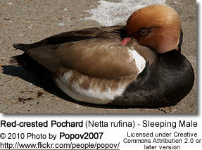 Red-crested Pochard (Netta rufina) - Sleeping Male