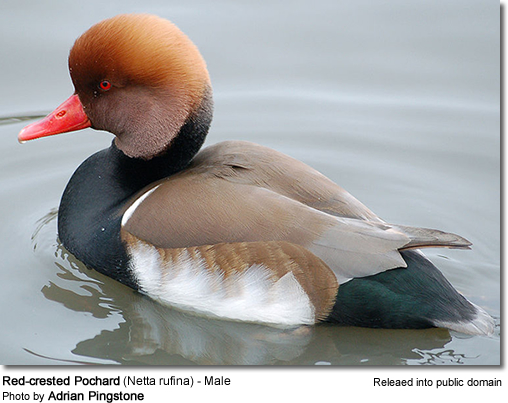 Red-crested Pochard (Netta rufina) - Male