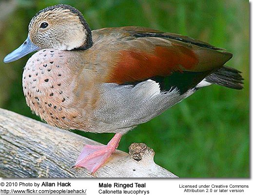 Ringed Teal (Callonetta leucophrys) - Male