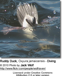 Ruddy Duck, Oxyura jamaicensis - Diving