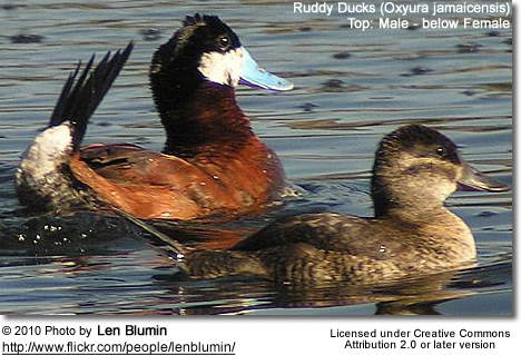 Ruddy Ducks : Male above, female below