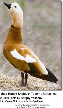 Male Ruddy Shelduck Tadorna ferruginea