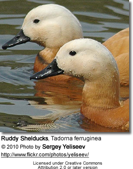 Ruddy Shelducks, Tadorna ferruginea