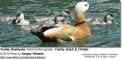 Ruddy Shelduck Tadorna ferruginea - Family (Adult and  Chicks)