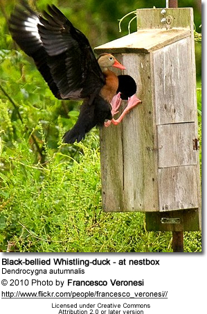 Black-bellied Whistling-duck - at nestbox