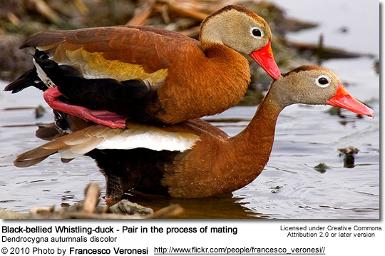 Black-bellied Whistling-duck - Pair in the process of mating