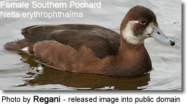 Southern Pochard Female