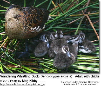 Wandering Whistling Duck (Dendrocygna arcuata) - adult with chicks