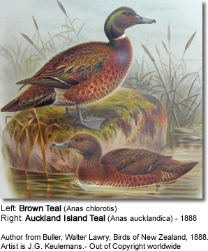 Brown Teal. Left, Anas chlorotis sometimes called the New Zealand Teal. Right, Anas aucklandica, the Auckland Island Teal.