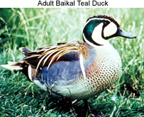 Baikai Teal Duck