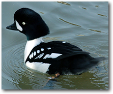 Barrow's Goldeneye Duck