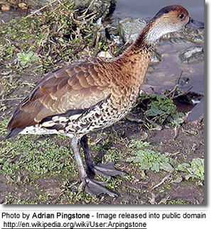 Black-billed Whistling Duck