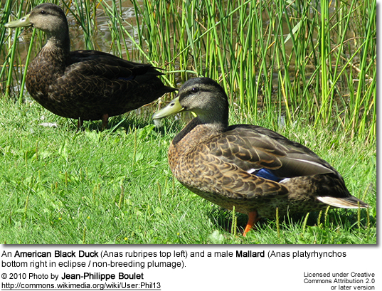 An American Black Duck (Anas rubripes top left) and a male Mallard (Anas platyrhynchos bottom right in eclipse / non-breeding plumage).