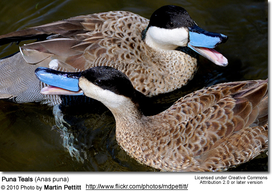 Blue-billed Ducks (Oxyura australis)