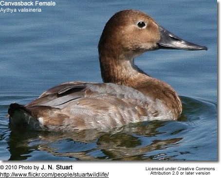 Female Canvasback