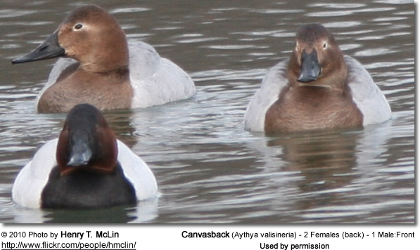 Canvasback (Aythya valisineria) - 2 Females (back) - 1 Male:Front