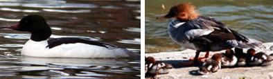Common Merganser Ducks: Male and Female with Ducklings