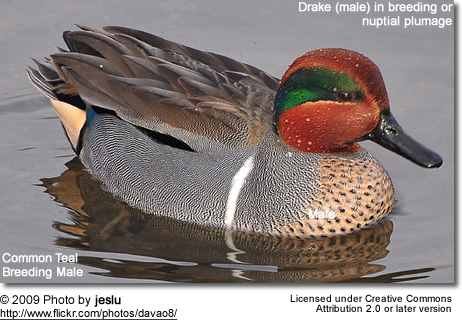 Common Teal - Male in breeding plumage