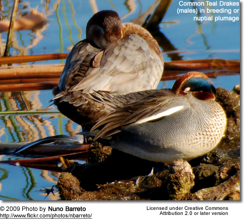 Two sleeping male Common Teals