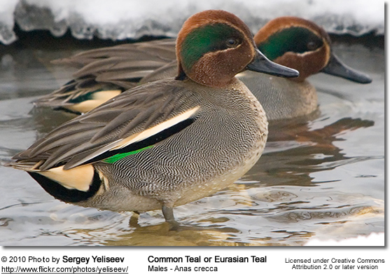 Common Teal Drake in nuptial plumage