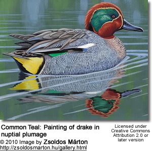 Common Teal: Painting of drake in nuptial plumage