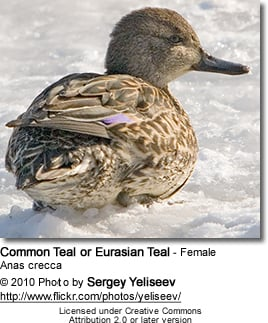 Common Teal or Eurasian Teal (Anas crecca)