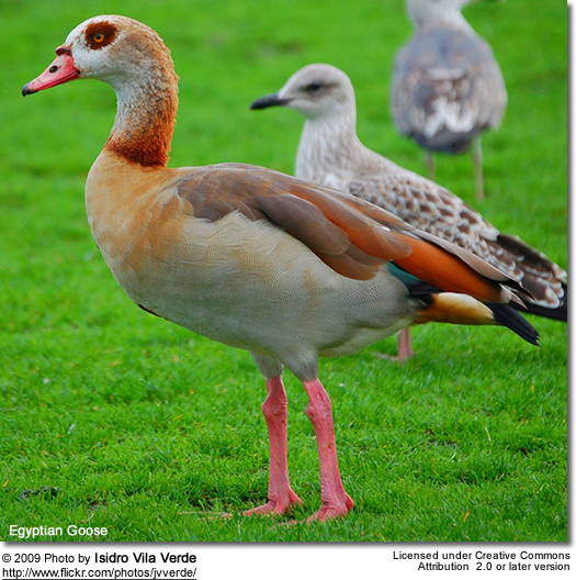 Egyptian Goose (foreground)