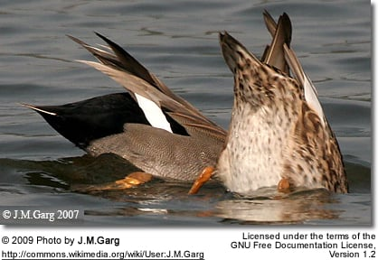 Gadwall Ducks (Male and Female) feeding