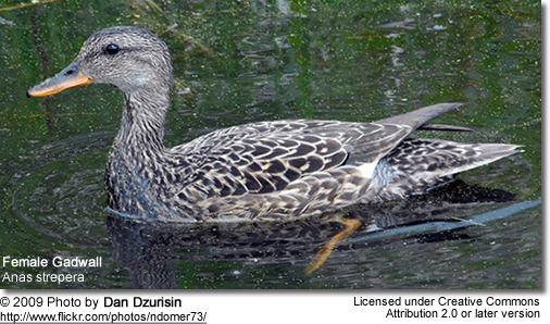 Female Gadwall Duck